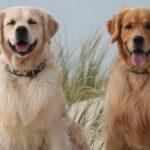 hunde-koennen-helfen-rund-um-frankfurt-hanau-aschaffenburg-therapie-mit-hunden-kinder-schulkinder-einzelstunde-einzeltherapie-daniela-thoene-druschke-grosskrotzenburg-Golden-Retriever